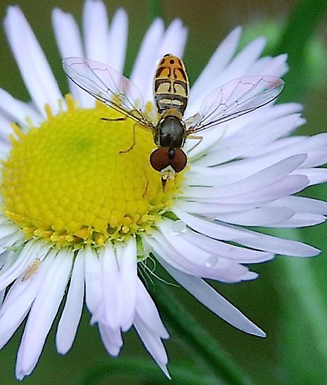 hoverfly - Toxomerus marginatus - male