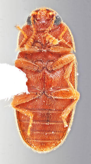 Hickman 5 - Typhaea stercorea