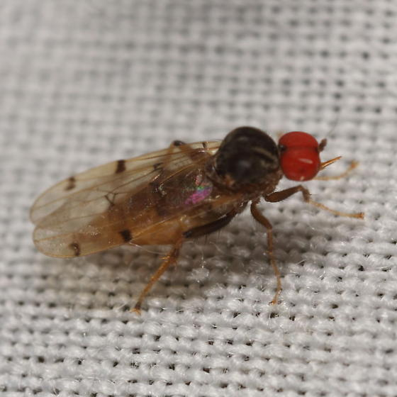 Small fly at light - Syneches simplex - female