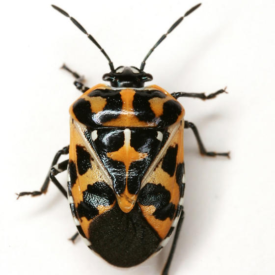 Murgantia histrionica (Hahn) - Murgantia histrionica