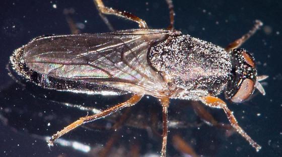 flywindow - Scenopinus