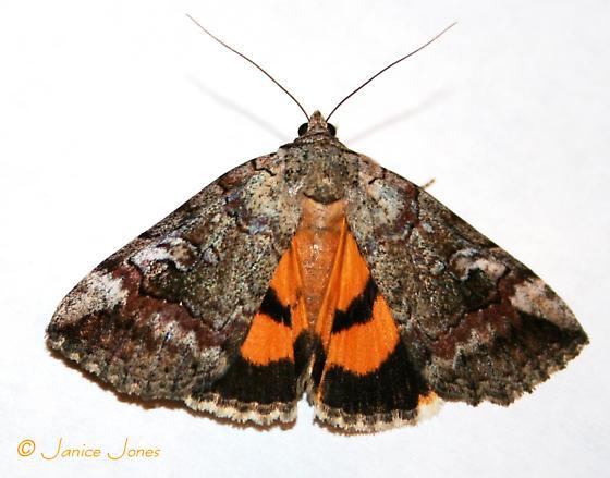 Catocala similis  - Catocala similis