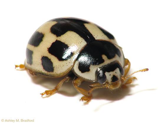 Pale Ladybug - Propylea quatuordecimpunctata