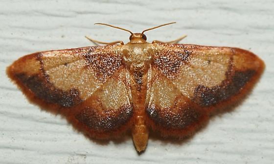 Red-Bordered Wave Moth? - Idaea