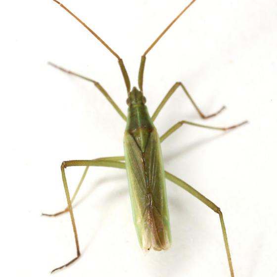 Megaloceroea recticornis (Geoffroy) - Megaloceroea recticornis