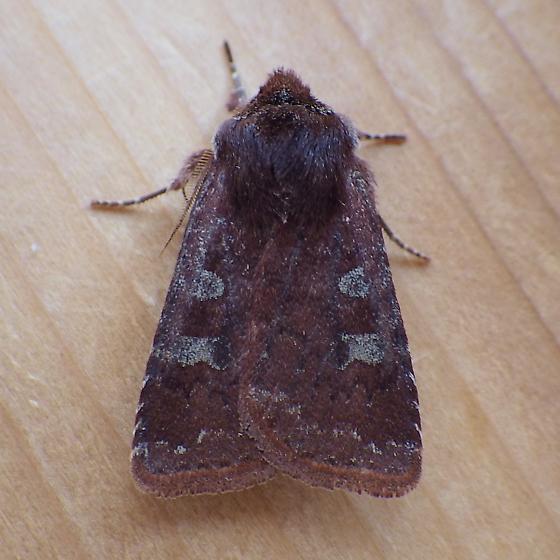 Noctuidae: Cerastis tenebrifera - Cerastis tenebrifera