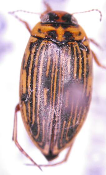 Predaceous diving beetle - Boreonectes griseostriatus