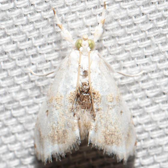 Lipocosma adelalis
