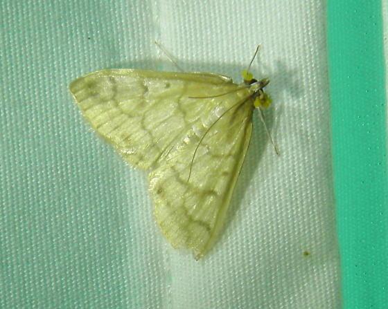 Crambid Snout Moth - Hahncappsia