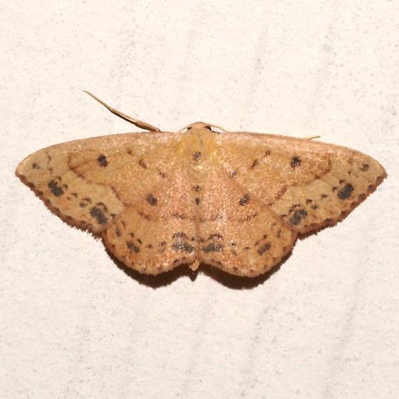 Hodges#7141 - Semaeopus ella