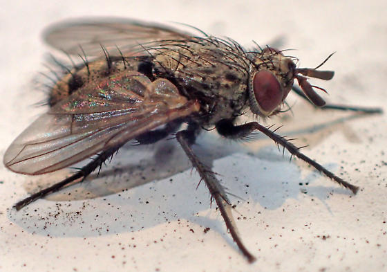 Calyptrate fly - tachinid? - Triarthria setipennis