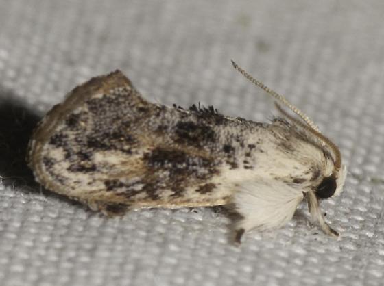 Frilly guys - Acrolophus mycetophagus