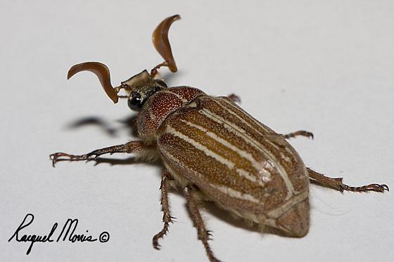Ten-lined June Beetle?? - Polyphylla hammondi - male