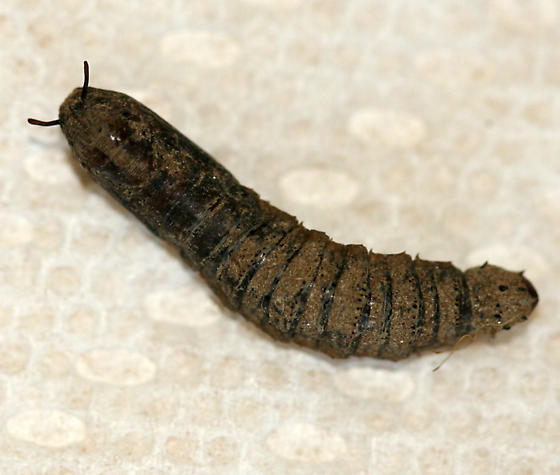 Crane fly pupae - photo#3