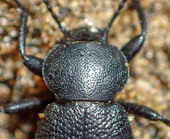 Small black teneb - Eleodes