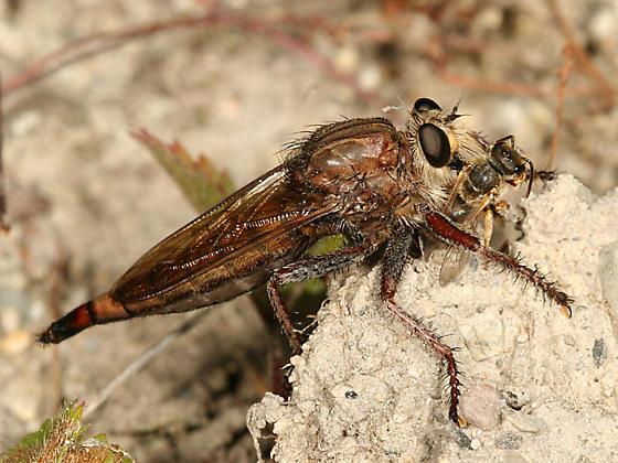 Proctacanthus sp. - Proctacanthus - female