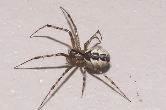 Dutch spiders