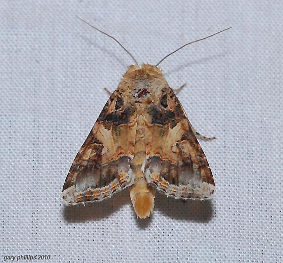 Fall Armyworm Moth - Spodoptera frugiperda - male