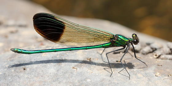 Green rock percher - Calopteryx aequabilis - male