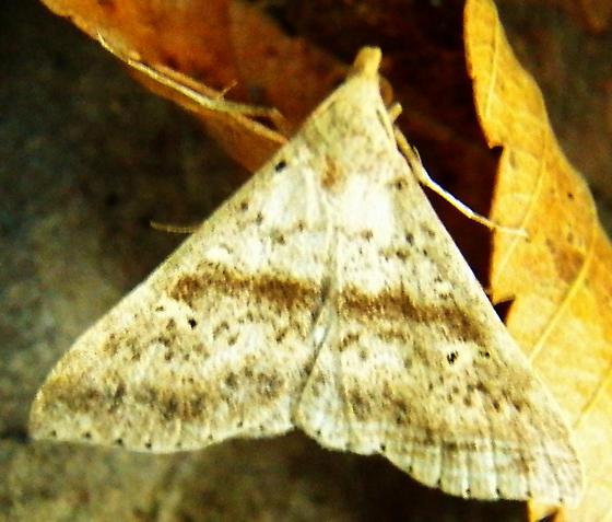 Discolored Renia - Renia salusalis - male