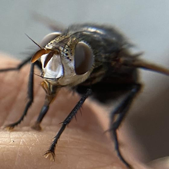 Large, white-faced Tachinid fly - Archytas metallicus