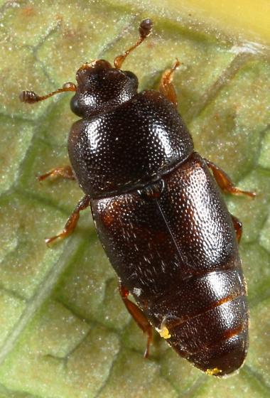 Pineapple Beetle - Urophorus humeralis