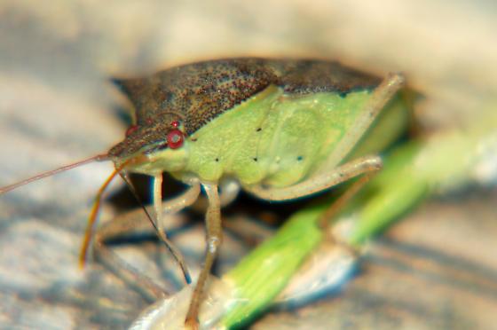 sap sucker - Euschistus tristigmus