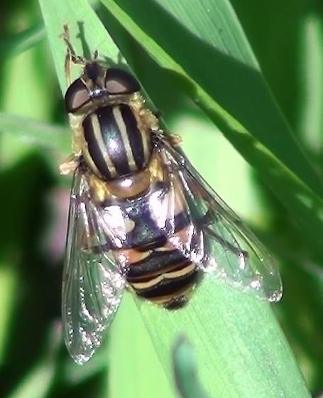Syrphidae: Helophilus? - Helophilus