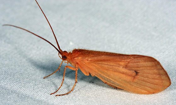 caddisfly on sheet