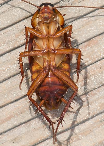 Roach - Periplaneta americana