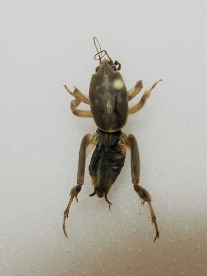 Mole Cricket - Neoscapteriscus borellii