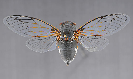 Cicada, male dorsal - Hadoa chiricahua - male