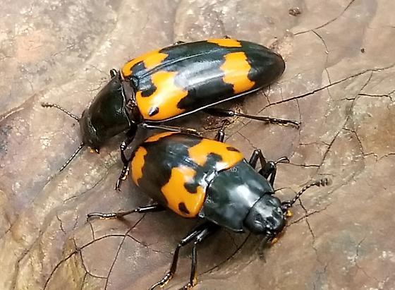 fungus beetle - Megalodacne heros