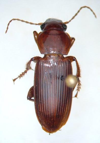 Harpalus eraticus - Harpalus erraticus - male