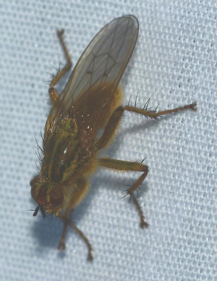 Gold Fly - Scathophaga stercoraria