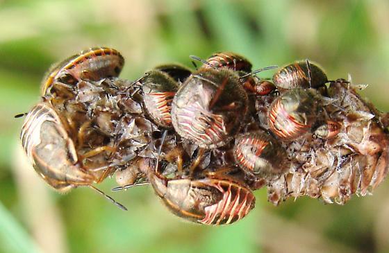 Nymphs - Trichopepla semivittata