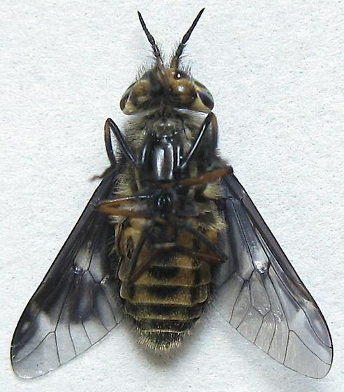 Deer Fly - male