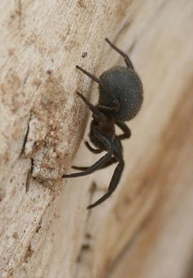 Is this a blackwidow? - Plectreurys
