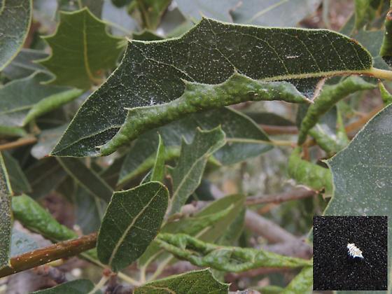 Stegophylla?