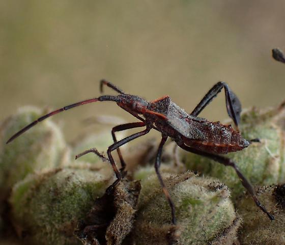 nymph,  Leptoglossus phyllopus ? - Leptoglossus