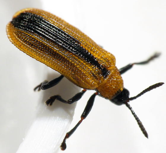 Odontota dorsalis - Locust Leaf Miner - Odontota dorsalis