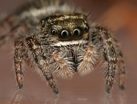 Jumping Spider with white dots on black abdomen, white stripe under eyes - Phidippus
