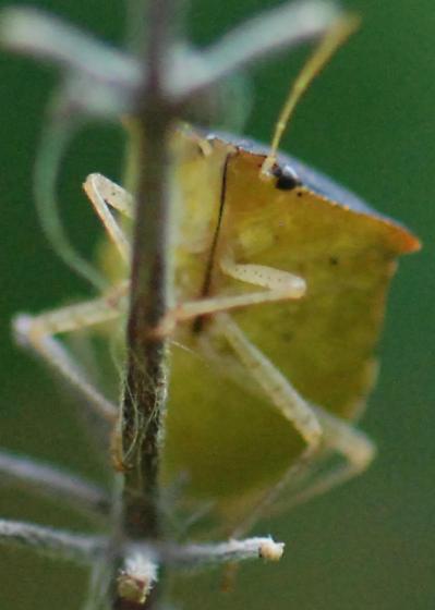Stink Bug - Euschistus sp.? - Euschistus obscurus