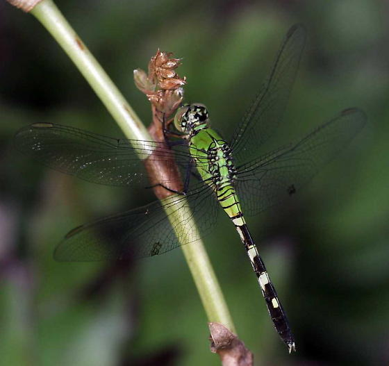 what? - Erythemis simplicicollis - male