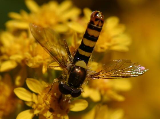 Mydas Fly ?? - Sphaerophoria - male