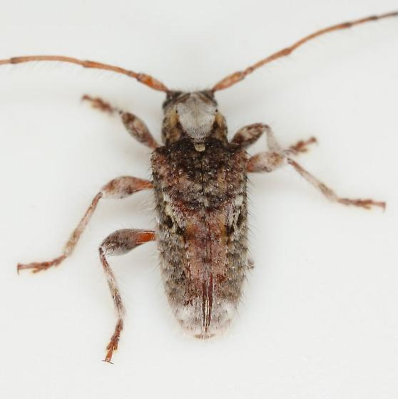 Callipogonius cornutus (Linsley) - Callipogonius cornutus