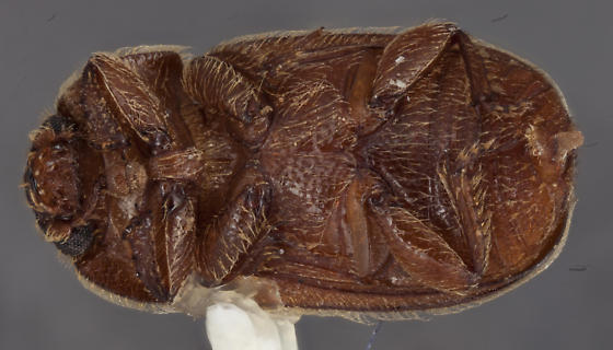 Coleoptera 10 - Thalycra