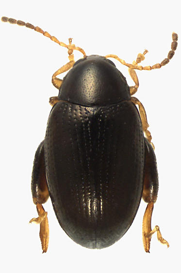 Leaf Beetle - Psylliodes punctulata