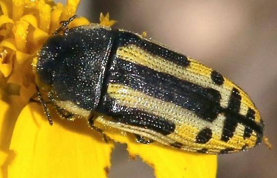 bug, yellow & black knit - Acmaeodera scalaris