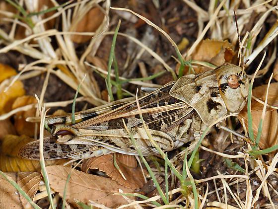 Acrididae - Hippiscus ocelote - female
